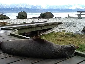A local resident relaxing at Kaikoura