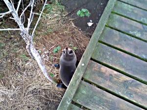 Fur seal pup at Point Kean