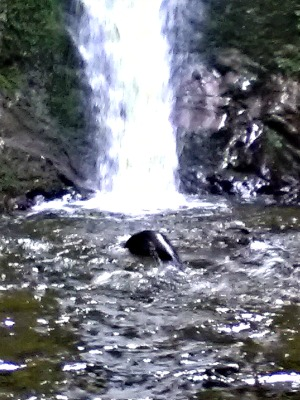 Seal pups frolic at the Ohau stream waterfall