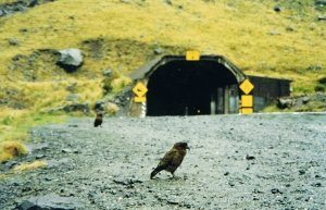 The Kea, a native parrot that delights in eating rubber trim on rental cars!