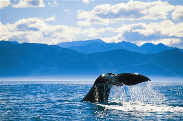 A giant Sperm Whale near Kaikoura