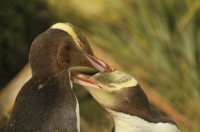 Penguins on the Dunedin and Otago Peninsula Wildlife Tour