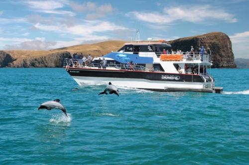 Check out the dolphins! Come and experience New Zealand's wildlife on an Akaroa Harbour Nature Cruise