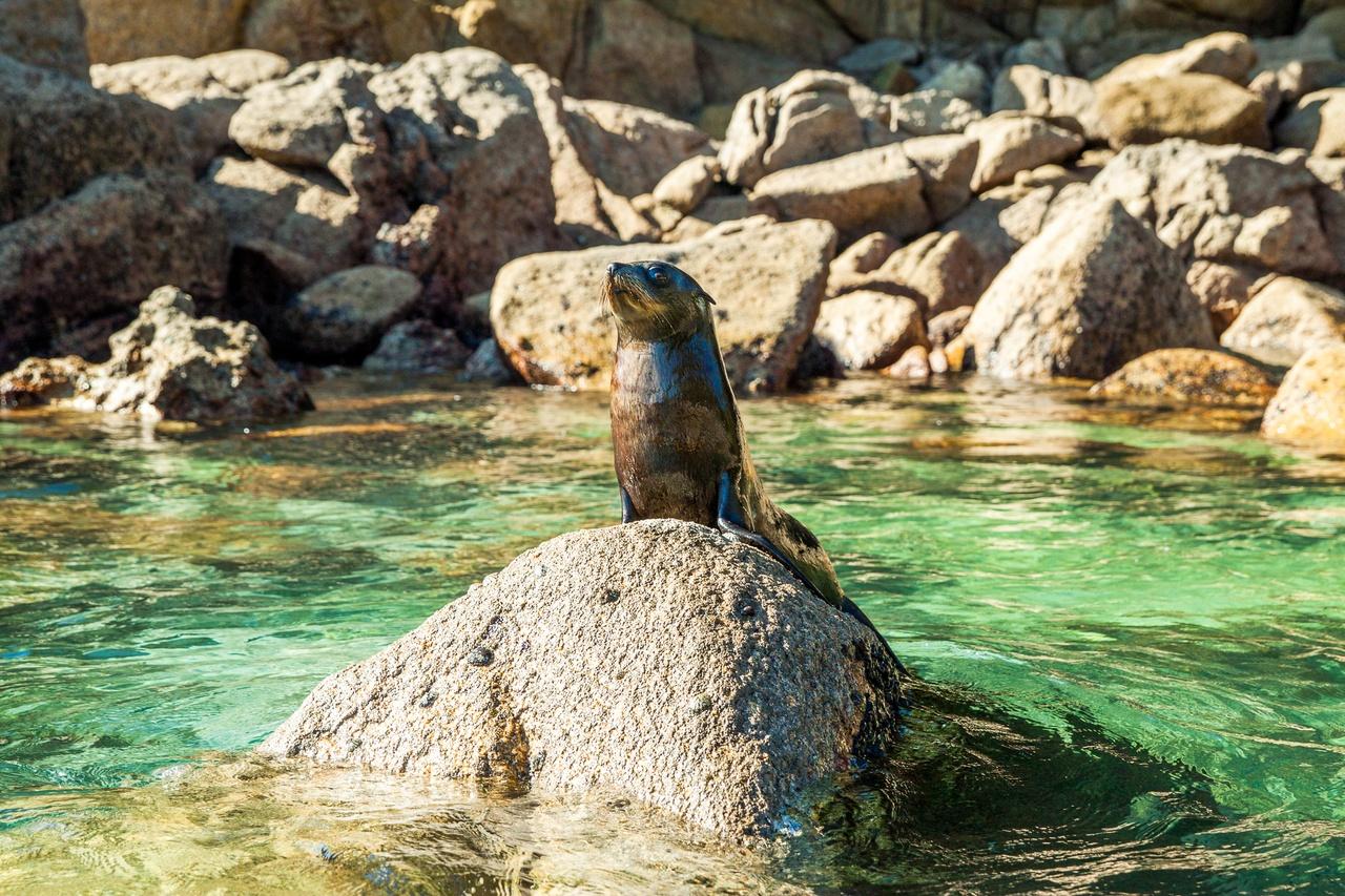 Abel Tasman Fur Seal on Rock - pic courtesy www.nelsontasman.nz