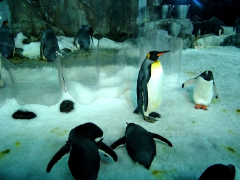 The penguin display at Kelly Tarlton's in Auckland