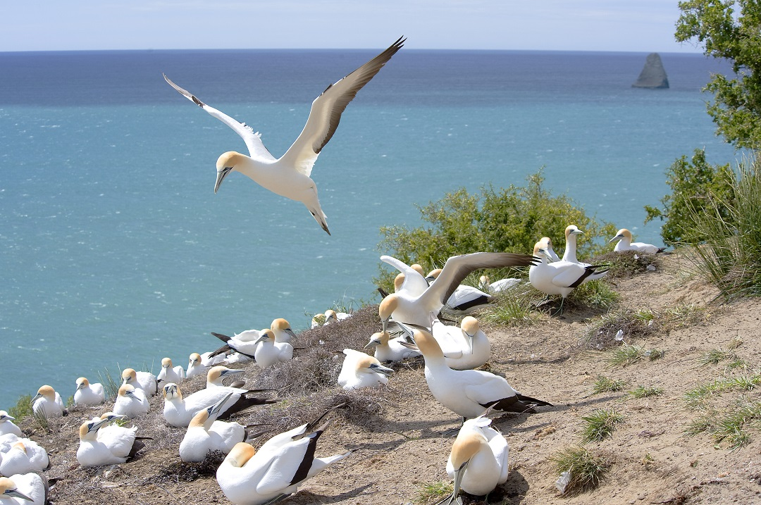 Gannet colony at Cape Kidnappers - image courtesy Robertson Lodges