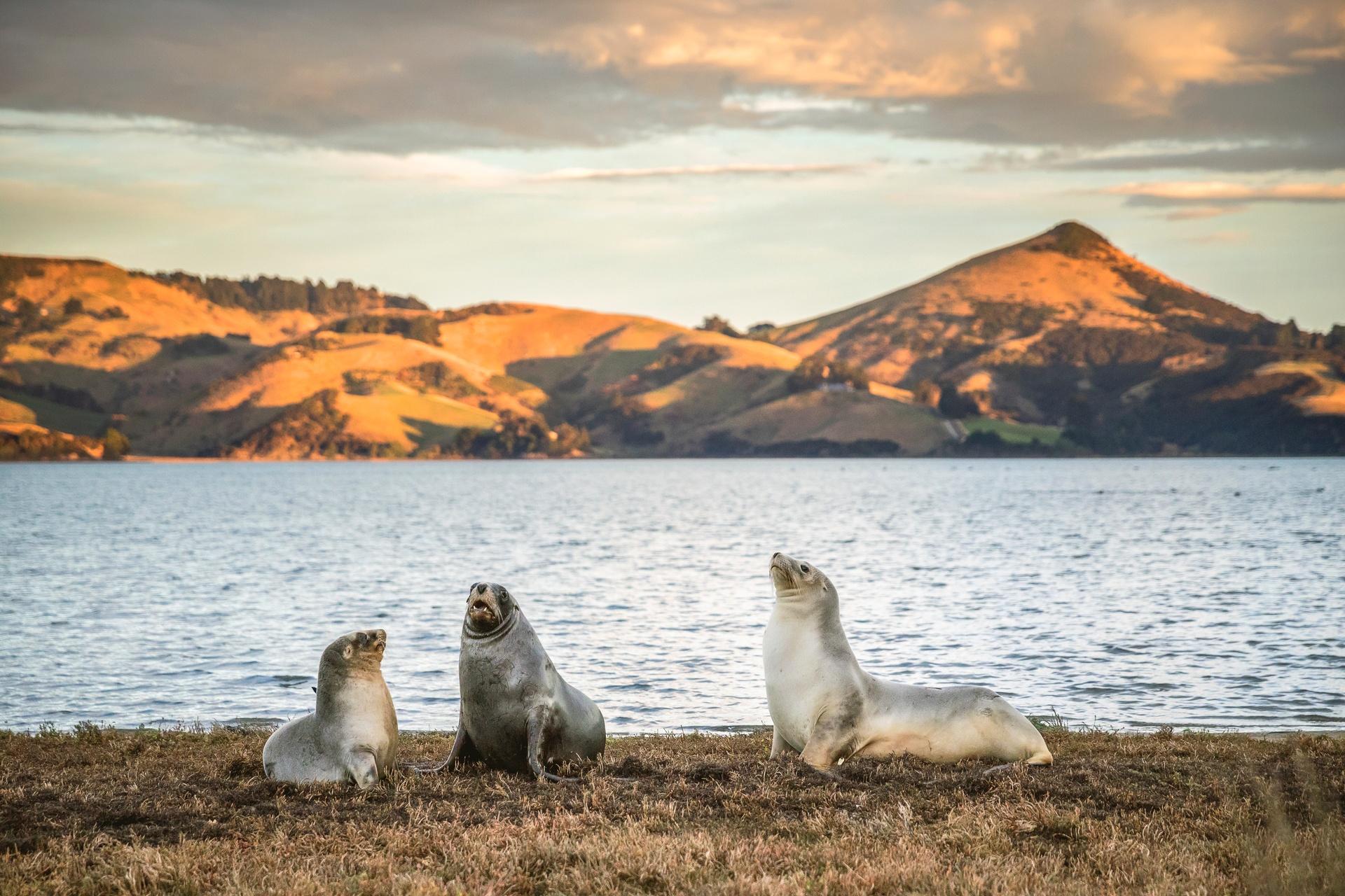 Seals relaxing near Dunedin. Image courtesy Miles Holden