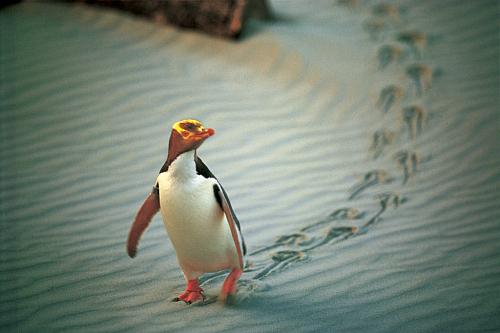 Yellow Eyed Penguin - pic courtesy Penguin Place