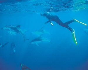 Swimming with the dolphins at Kaikoura - picture courtesy Haka Tours