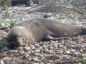 A fur seal lazing in the sun near Kaikoura