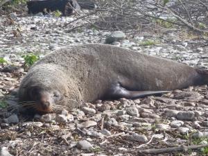 A fur seal lazing in the sun near Kaikoura