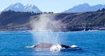 Humpback Whale - copyright Whale Watch Kaikoura