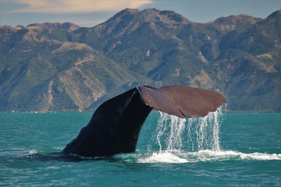 A Sperm whale off Kaikoura. Image courtesy Whale Watch Kaikoura