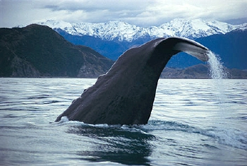 A giant Sperm Whale dives off the coast of Kaikoura