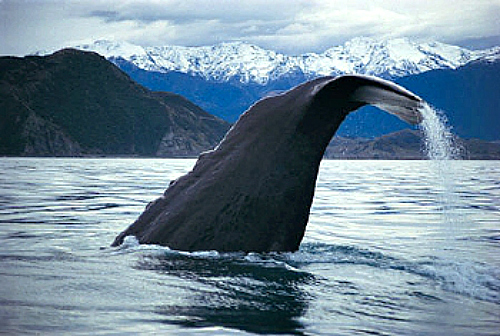 A whale dives off the Kaikoura coast on New Zealand's South Island