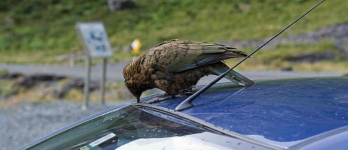 A Kea having a pick at a car - picture courtesy Joshin Yamada