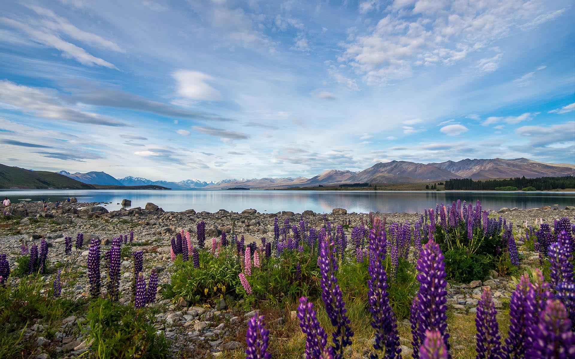 Lake Tekapo and lupins. Image courtesy mackenzienz.com