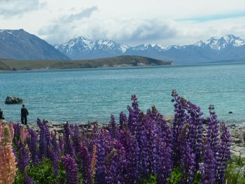 Lupins in flower at Lake Tekapo