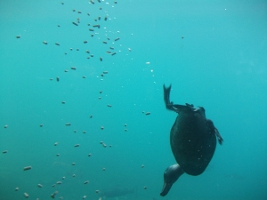 A diving Teal, picture taken at the underwater observatory in Queenstown