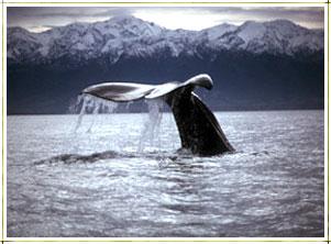 A Sperm Whale near Kaikoura