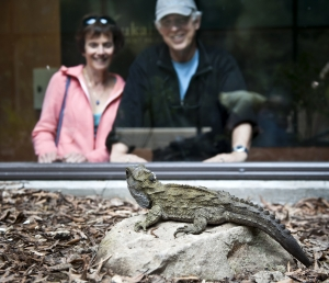 Wairarapa Tuatara At Pukaha Mount Bruce National Wildlife Centre Courtesy Destination Wairarapa