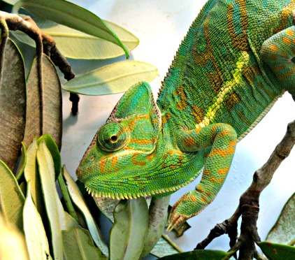 The chameleon is just one of the surprises at Wellington Zoo. Pic courtesy Wellington Zoo