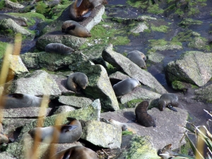 The seal colony at Cape Foulwind