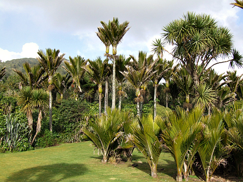 Nikau palms at Punakaiki