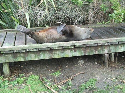 Relaxing at Kaikoura. A New Zealand fur seal near Kaikoura.