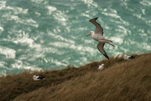 Visit the Royal Albatross breeding grounds near Dunedin