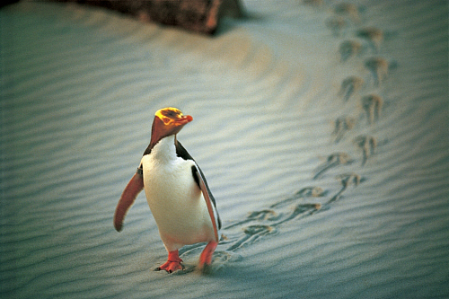 Yellow Eyed Penguin - pic courtesy The Penguin Place