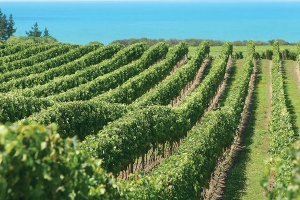 Gisborne offers perfect conditions for production of fine wines