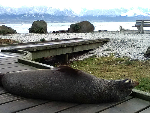 Fur seal on boardwalk at Kaikoura