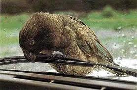 Kea chewing a wiper blade