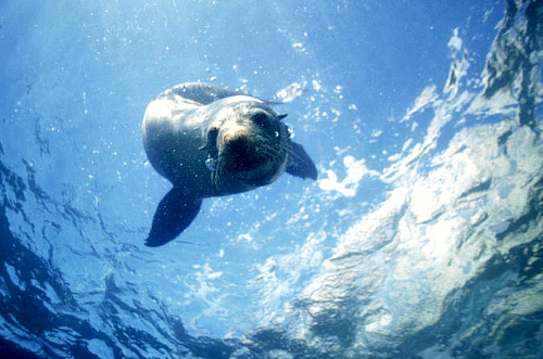 Swim with the seals in Kaikoura - click for more information